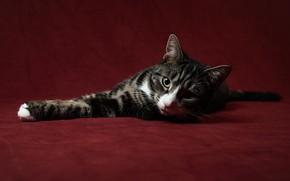 Картинка кот, серый, лежит, красный фон