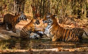Картинка вода, деревья, купание, малыши, тигры, мама, тигрица, тигрята, водоем, тигренок, детеныши