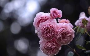 Картинка цветы, куст, розы, лепестки, бутон, розовые