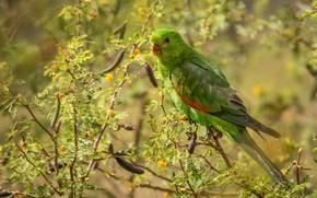 Картинка ветки, зеленый, птица, попугай