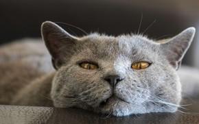 Картинка кошка, кот, взгляд, морда, крупный план, серый, портрет, лежит, британский, желтые глаза