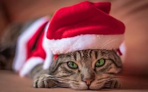 Картинка кошка, кот, взгляд, поза, серый, фон, праздник, портрет, лапы, Рождество, Новый год, лежит, образ, мордашка, …