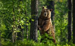 Картинка зелень, лес, лето, взгляд, морда, свет, деревья, поза, зеленый, фон, дерево, лапы, медведь, мишка, ствол, …