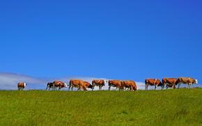 Картинка небо, коровы, пастбище