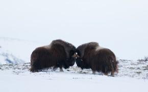 Картинка зима, поле, снег, поза, пара, светлый фон, схватка, два, быки, соперники, овцебык, два быка, овцебыки, …