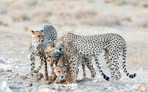 Картинка природа, звери, гепарды