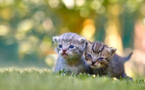 Картинка котята, малыши, парочка, боке