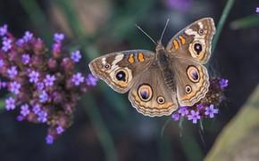 Картинка макро, бабочка, растение, вербена, Common Buckeye