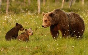 Картинка зелень, лес, лето, трава, взгляд, морда, природа, поза, поляна, медведь, медведи, три, медвежонок, стоит, малыши, …
