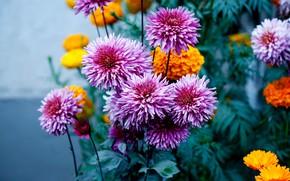 Картинка цветы, сад, розовые, оранжевые, клумба, сиреневые, боке, бархатцы, георгины