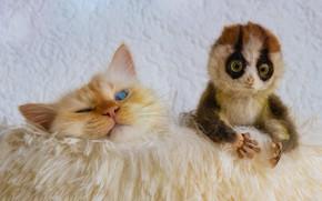 Картинка кошка, кот, взгляд, морда, поза, игрушка, рыжий, лежит, мех, лори