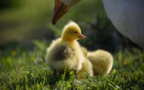 Картинка трава, свет, поляна, желтые, малыши, забота, мама, птенец, птенцы, гусь, гуси, гусята, выводок, гусыня
