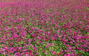 Картинка поле, лето, цветы, поляна, текстура, розовые, много, цветочное поле, плантация, море цветов, циннии