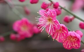 Картинка макро, ветки, бутоны, цветение, цветки, Абрикос японский, Муме