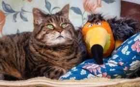 Картинка кошка, кот, взгляд, морда, поза, серый, птица, игрушка, лежит, парочка, тукан, друзья, полосатый