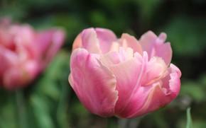 Картинка Nature, Flower, Tulip, Macro