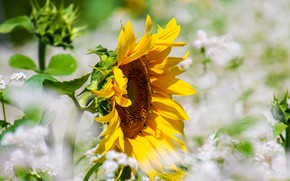 Картинка цветок, подсолнух, подсолнечник