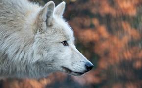 Картинка морда, волк, профиль