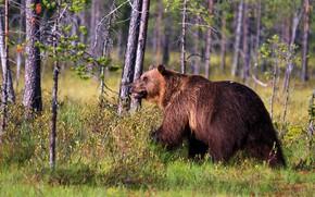 Картинка зелень, лес, трава, взгляд, свет, деревья, ветки, природа, поза, стволы, весна, медведь, мишка, пасть, профиль, …