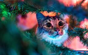 Картинка кошка, кот, взгляд, морда, свет, ветки, портрет, Рождество, Новый год, ёлка, хвоя, гирлянды, боке, табби