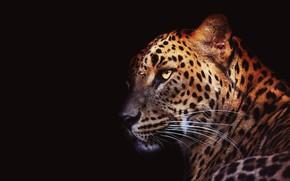 Картинка глаза, усы, взгляд, морда, свет, крупный план, портрет, леопард, черный фон, дикая кошка, красавец