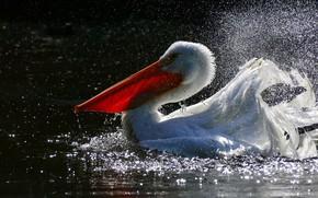 Картинка вода, брызги, птица, пеликан