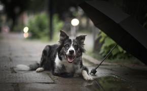 Картинка взгляд, морда, свет, город, огни, зонтик, дождь, улица, черный, плитка, собака, зонт, лежит, тротуар, пёс, …