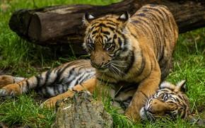 Картинка трава, игра, бревно, парочка, тигры, тигрята, два, тигренок, два тигренка