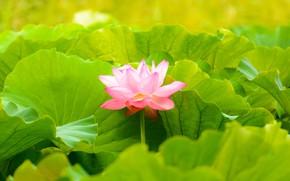 Картинка Макро, Природа, Цветок, Листья, Лепестки, Лотос