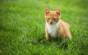 Картинка кошка, взгляд, поза, котенок, фон, рыжий, котёнок