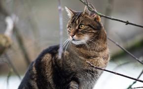 Картинка кошка, кот, взгляд, морда, снег, ветки, серый, портрет, полосатый, боке