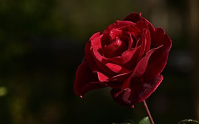 Картинка цветок, капли, свет, темный фон, роза, бутон, красная