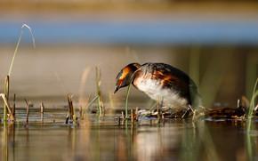 Картинка птица, утка, водоем, дикая, яркое оперение