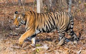 Картинка осень, листья, солнце, природа, тигр, хищник