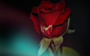 Картинка темный фон, красная роза, бутон розы
