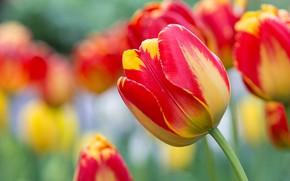 Картинка макро, размытость, бутон, тюльпаны, жёлто-красные