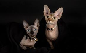 Обои взгляд, кошки, стиль, портрет, ожерелье, котята, ошейник, парочка, мордочки, тёмный фон, модницы