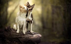 Картинка собаки, природа, друзья