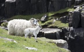 Картинка mountains, goats, breeding