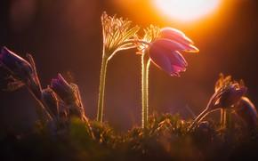 Картинка свет, закат, цветы, природа, темный фон, весна, сиреневые, боке, прострел