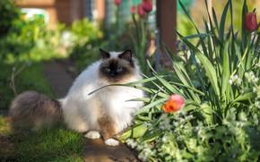 Картинка кошка, кот, взгляд, свет, цветы, природа, весна, сад, дорожка, тюльпаны, голубые глаза, сидит, клумба, тропинка, …