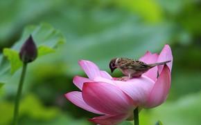 Картинка птица, воробей, лотос