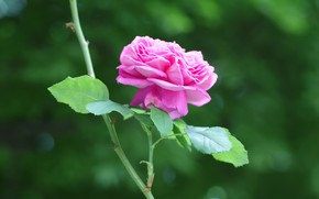 Картинка роза, стебель, сиреневая