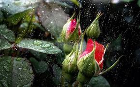Картинка листья, цветы, природа, дождь, обои, заставка, розовые бутоны, дождь за моим окном, капли дождя на …