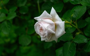 Картинка цветок, листья, роза, сад, бутон, белая, зеленый фон