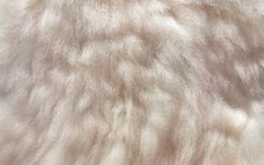 Картинка фон, животное, светлый, текстура, шерсть, шкура, мех, волнистый, кожный покров, мех животного