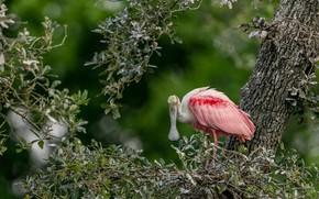 Картинка ветки, дерево, птица, боке, розовая колпица