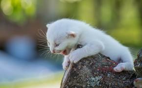 Картинка белый, малыш, котёнок, боке, пискля