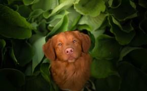 Картинка взгляд, морда, листья, собака, Новошотландский ретривер