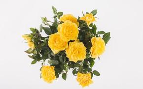 Картинка фон, розы, букет, жёлтые